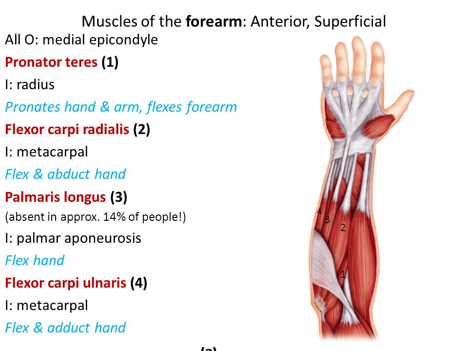 Muscles of the Arm  - ppt video online download