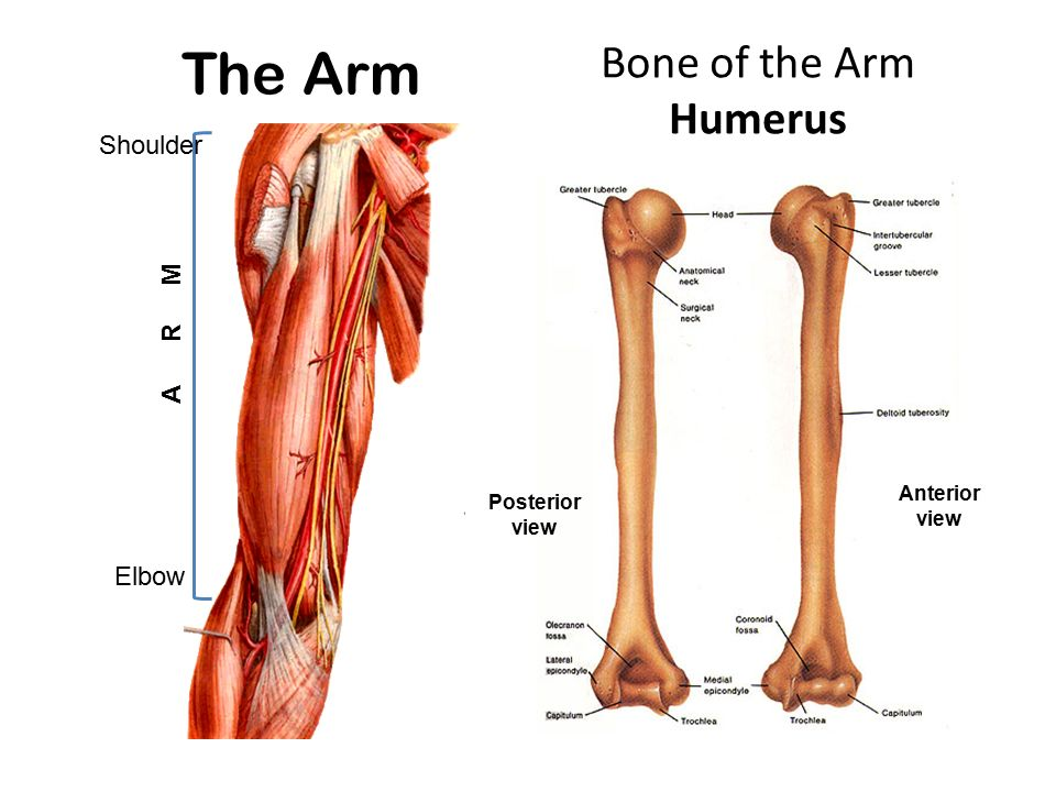 Muscles of the Arm and Cubital Fossa - ppt video online download