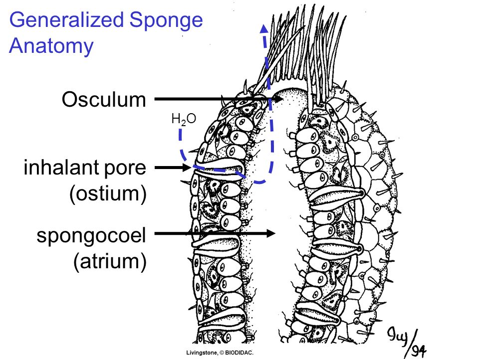 Phylum Porifera Sponges Ppt Video Online Download