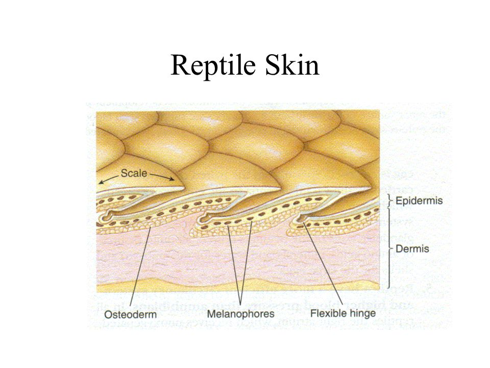 Reptile+Skin amphibians and reptiles ppt video online download