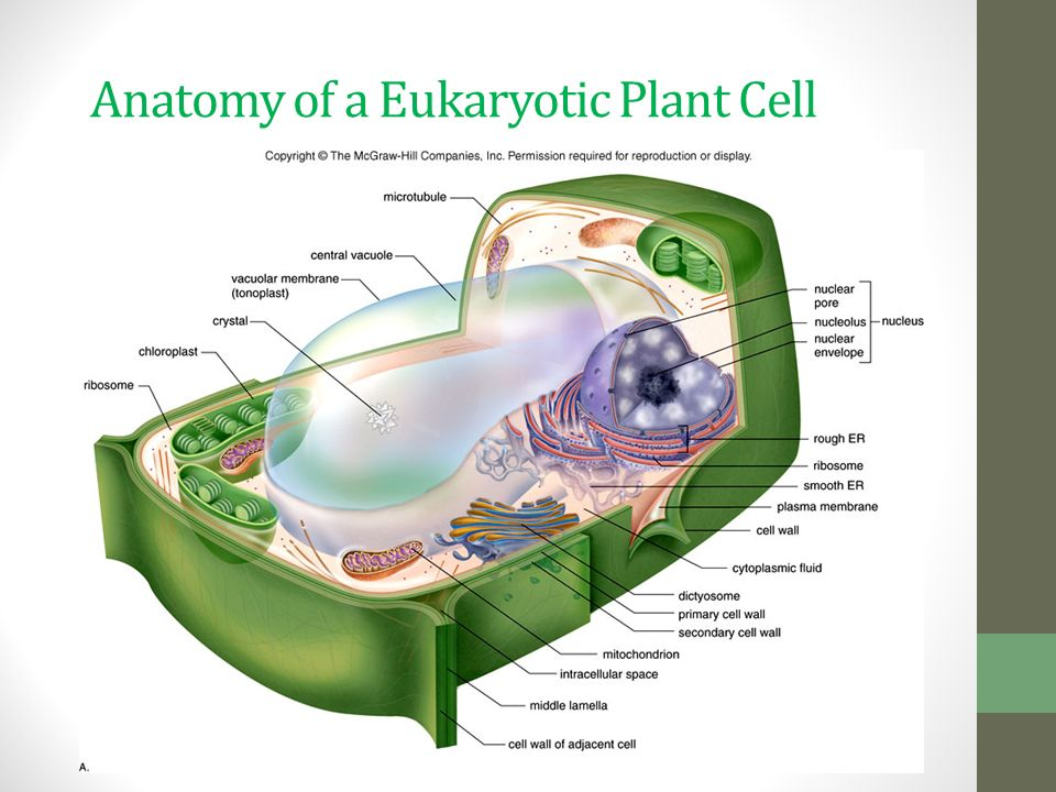 Plant Cells and Tissues - ppt download