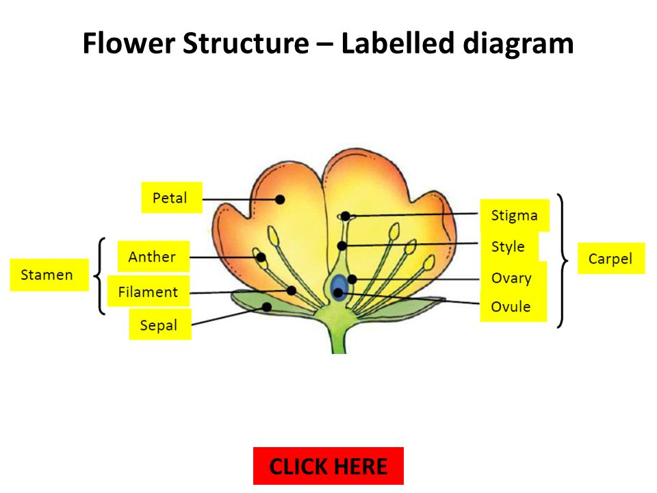 Flower Diagram Labelled Trusted Schematics Diagram