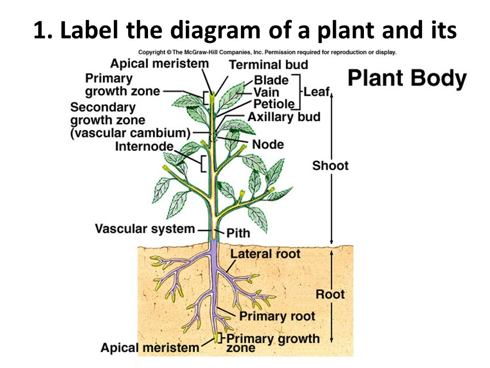 Diagram Of A Plant And Its Parts Information Of Wiring Diagram
