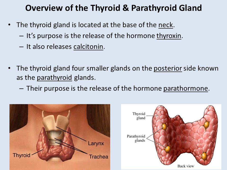 The Thyroid Parathyroid Gland Ppt Video Online Download