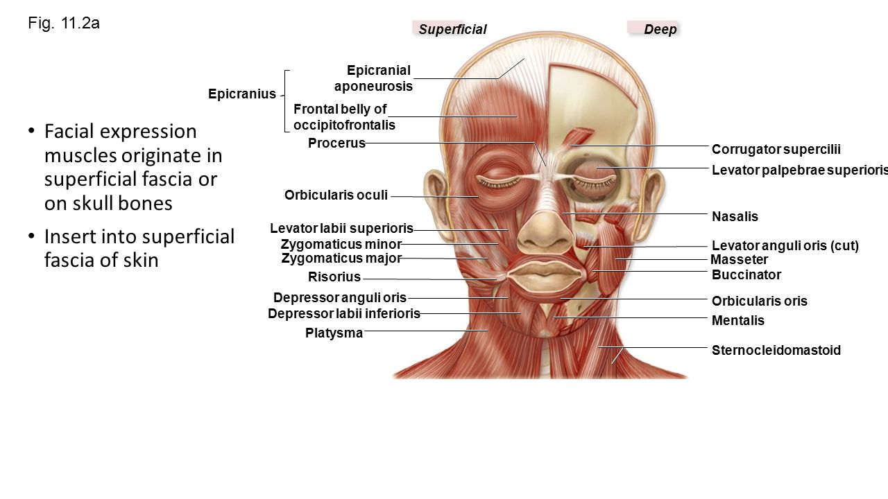 Chapter 11 Part 1 Muscles Of The Face Ppt Video Online Download