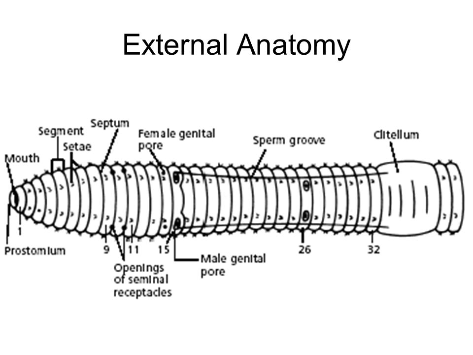 ANNELIDA Segmented Worms. - ppt download