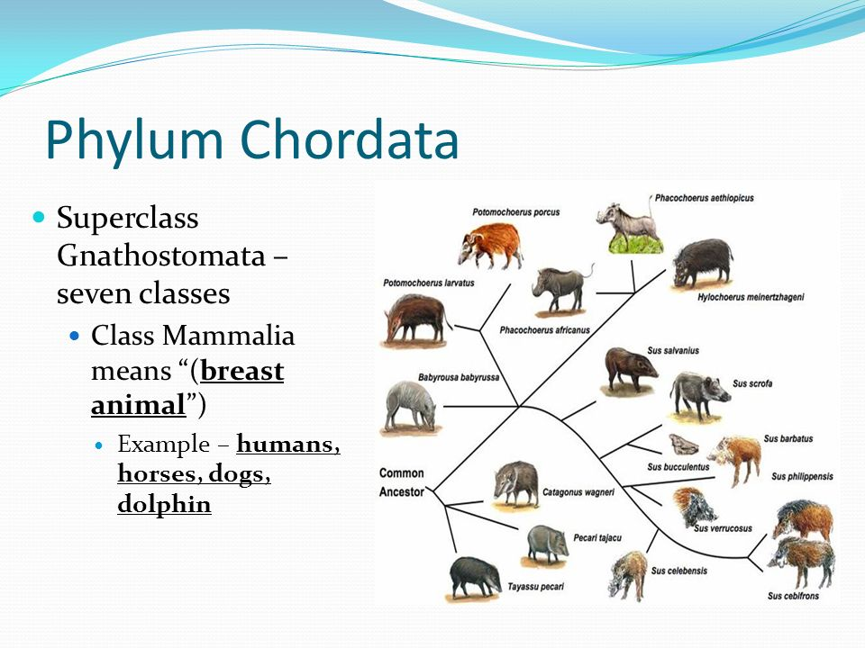 chapter 23 phylum chordata ppt download