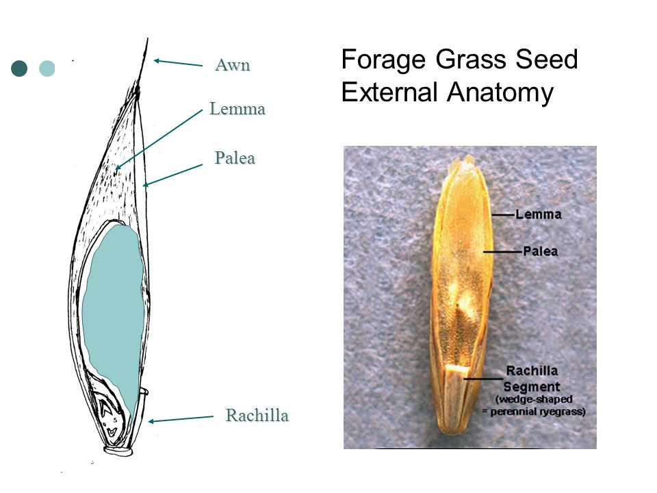 Forage Grass Seed Identification - ppt video online download
