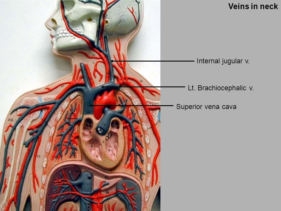 Artery and Vein. Artery and Vein Vessel Man. - ppt video online download