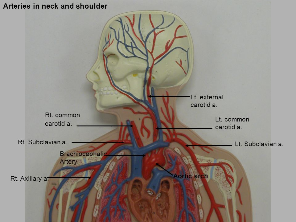 Artery And Vein Artery And Vein Vessel Man Ppt Video Online Download