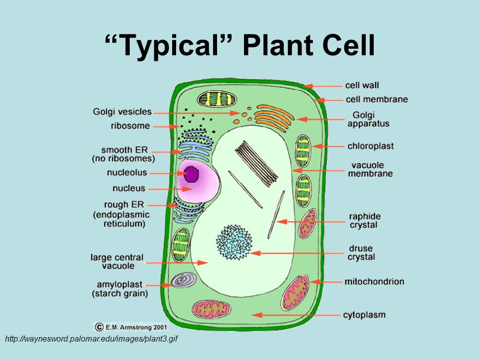 "Simple Plant Cell Diagram for Kids Prettier Plant Parts Of A Typical in addition DO NOW  Cell Factory ogy   ppt video online download furthermore Make a labelled drawing of a typical plant cell to show its also Animal And Plant Cell Worksheets Labelling Labeling Worksheet Unique additionally The Cell Diagram Quiz   WIRING DIAGRAM TUTORIAL besides Cells  The ""Little Chambers"" in Plants and Animals Normal Organelles besides Animal Cell Drawing at GetDrawings     Free for personal use further Plant Cell Coloring Page Elegant Color A Typical Plant Cell besides Cell Coloring Pages Plant Page Key on Animal Cell Coloring Diagram furthermore Typical Animal Cell Coloring  bd380c7b0c50   Bbcpc as well Plant Cell Coloring Page with Labels Admirable Color A Typical Plant as well Amazing Color A Typical Plant Cell Animal Coloring Page with Labels as well  moreover CELL STRUCTURE EXPLORATION ACTIVITIES besides Typical Plant and Animal Cells Diagram Best Typical Animal and Plant likewise Animal Cells Worksheet Answers Animal Cell Coloring Worksheet. on a typical plant cell worksheet"