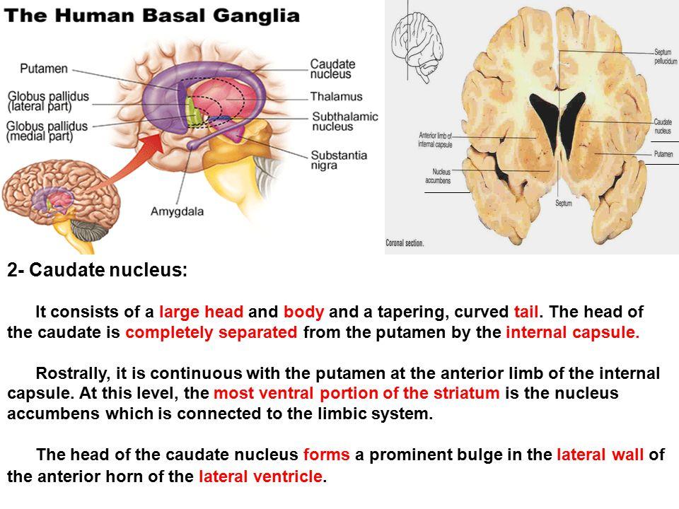 And claustrum And substantia innominata Nucleus accumbens - ppt ...