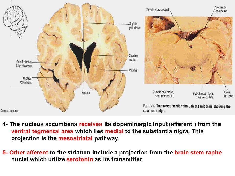 And claustrum and substantia innominata nucleus accumbens ppt 4 the nucleus accumbens receives its dopaminergic input afferent from the ventral tegmental ccuart Image collections