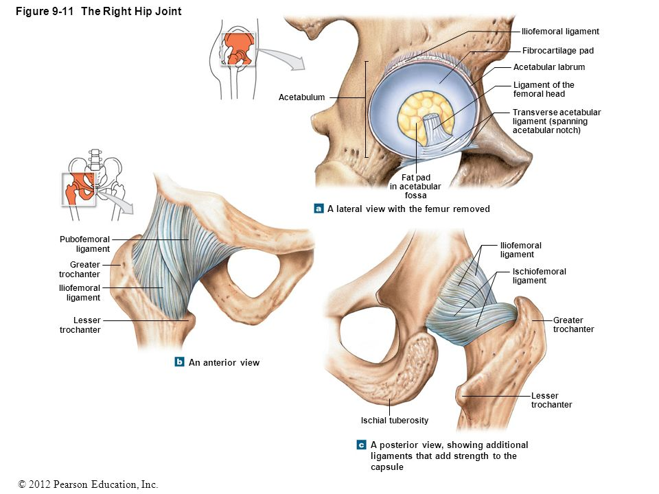 Beautiful Ligaments Of The Hip Joint Photo - Anatomy And Physiology ...