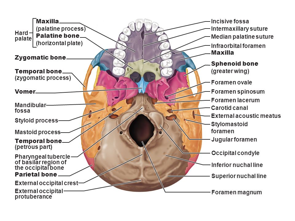 Sectioned Human Skull Anatomy Diagram - Electrical Work Wiring Diagram •