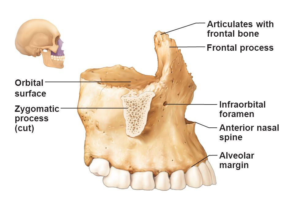 Figure 71 The Human Skeleton Ppt Video Online Download