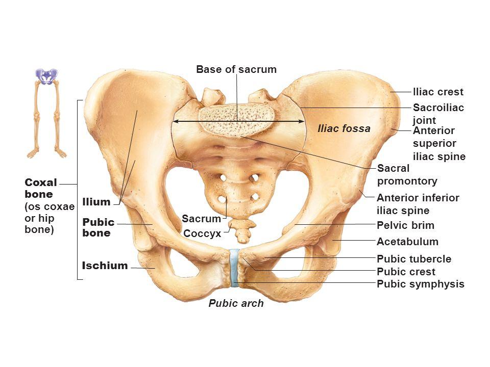 Figure 7.1 The human skeleton. - ppt video online download