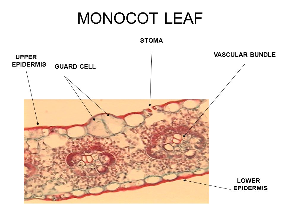 dicot leaf upper epidermis cuticle palisade parenchyma
