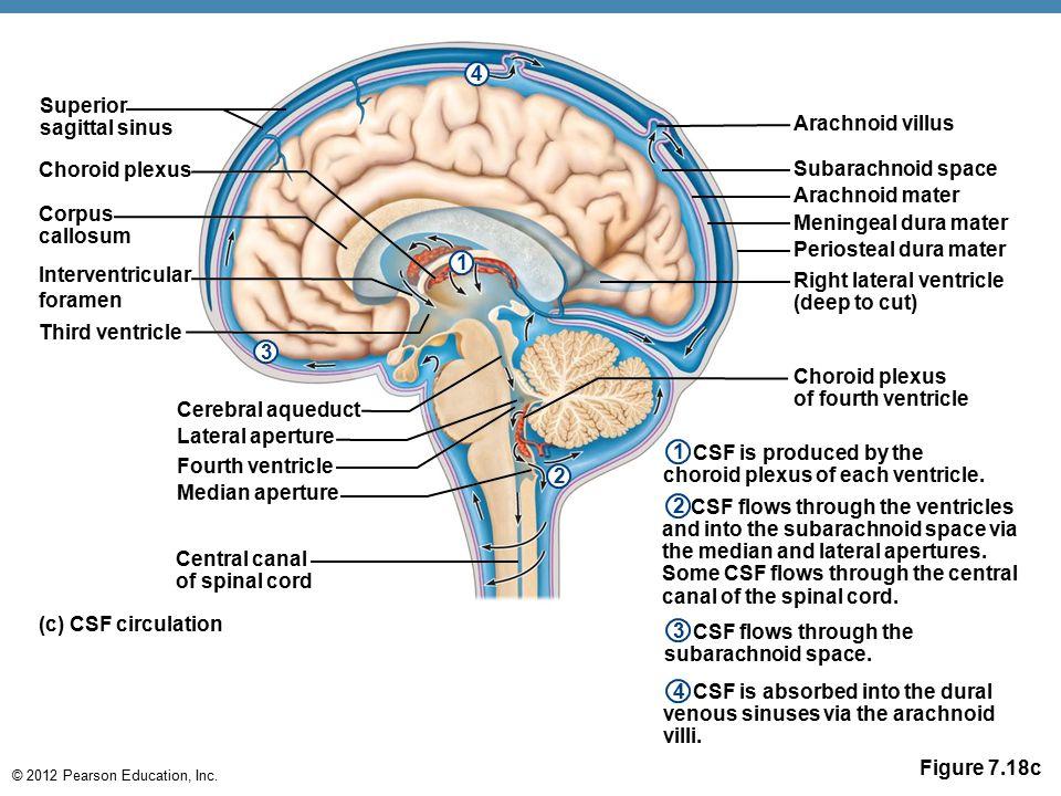 Central Nervous System Cns Ppt Download