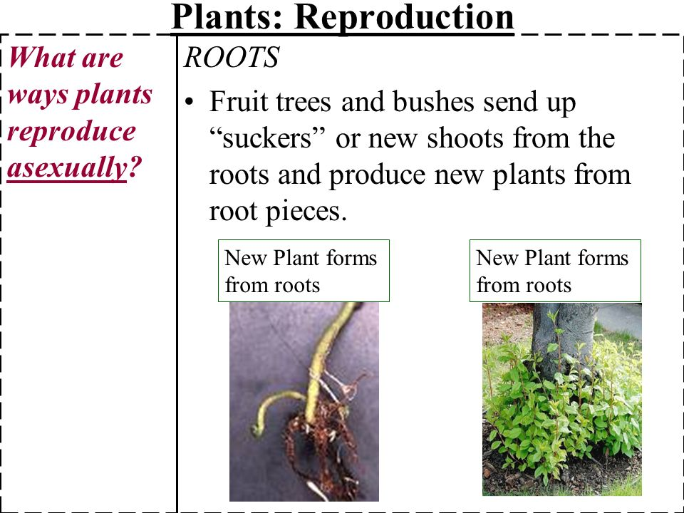 List 5 different ways that plants reproduce asexually
