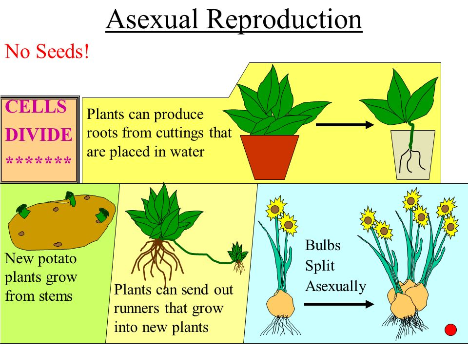 Asexual reproduction in plants stem cutting