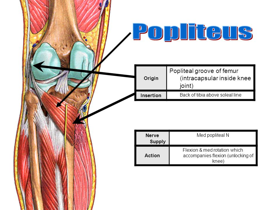 Muscles Of The Lower Limb Ppt Video Online Download