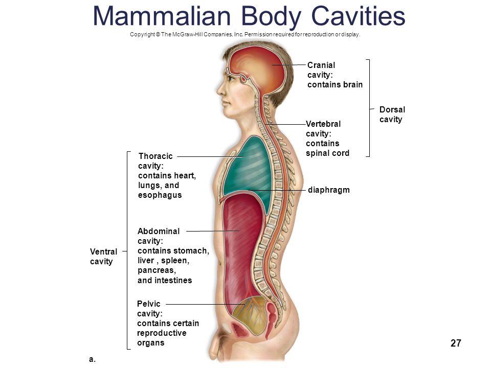 Mammal Body Cavity Diagram Explore Schematic Wiring Diagram