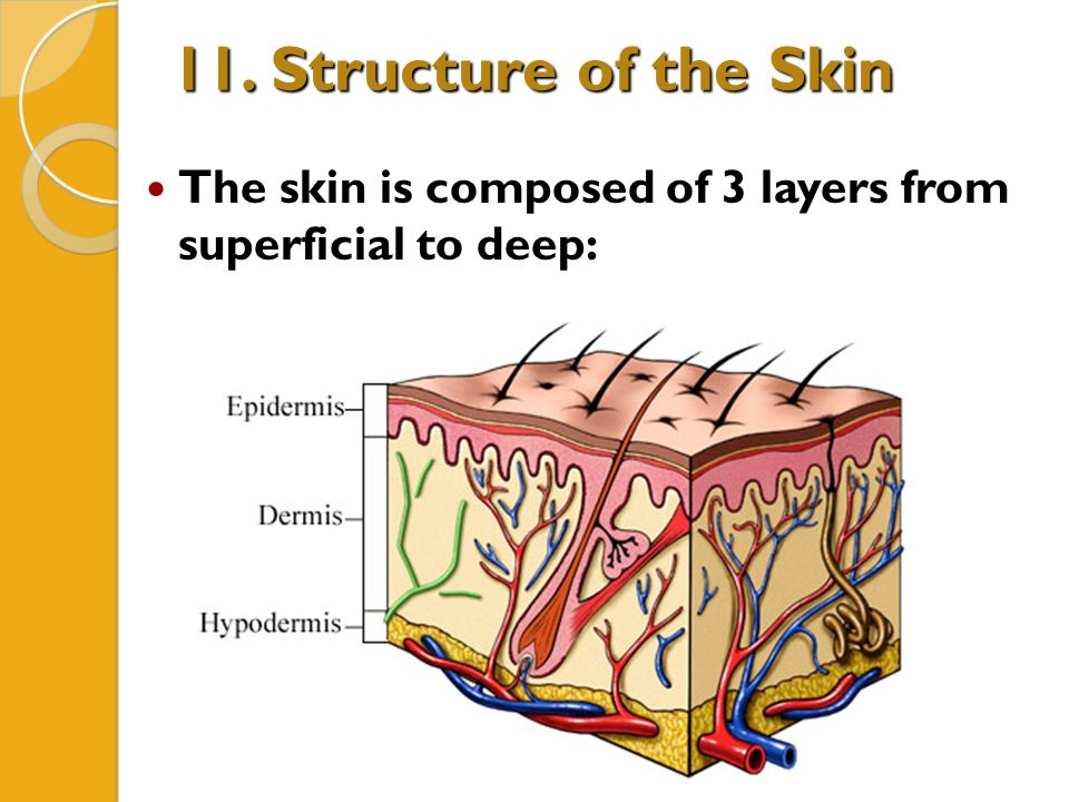 Unit 3 Integumentary System A P Chapter 5 Ppt Download