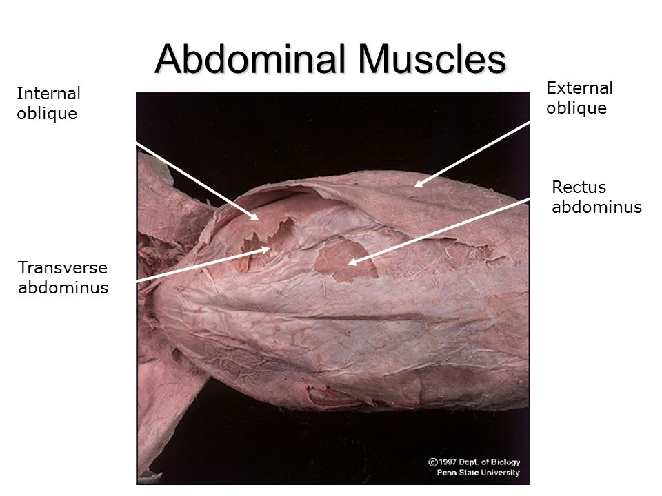 Lab 8 Cat Muscles - ppt video online download