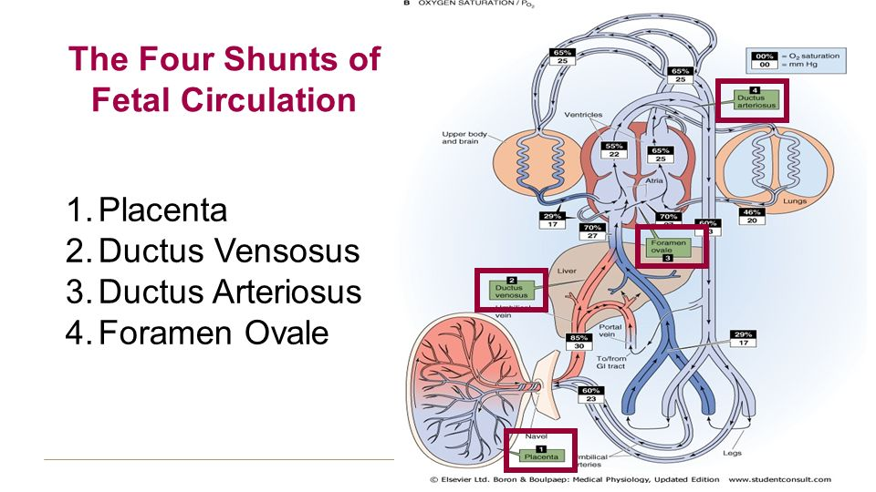 Fetal And Neonatal Circulation Ppt Video Online Download