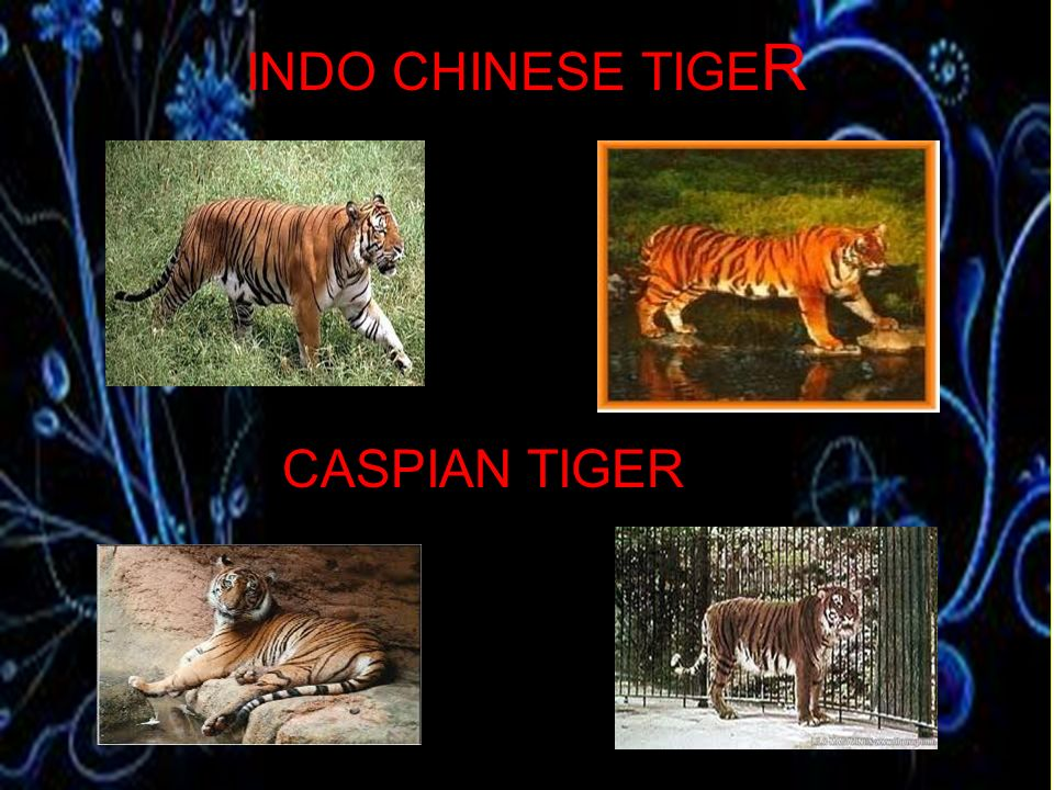 INDO CHINESE TIGER CASPIAN TIGER