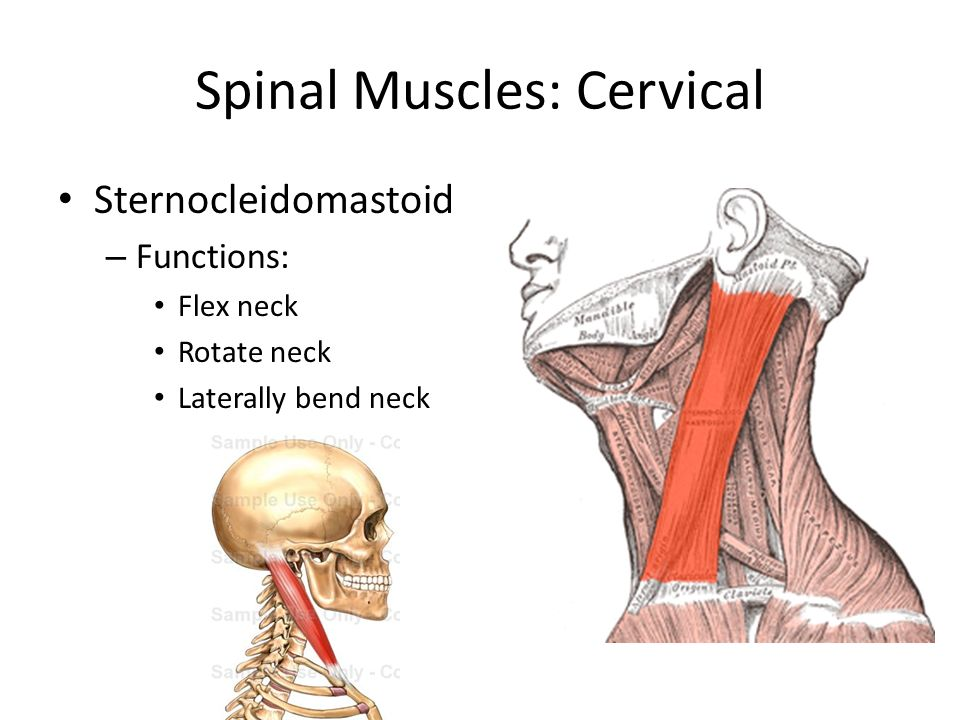 The Anatomy of the Spine - ppt video online download