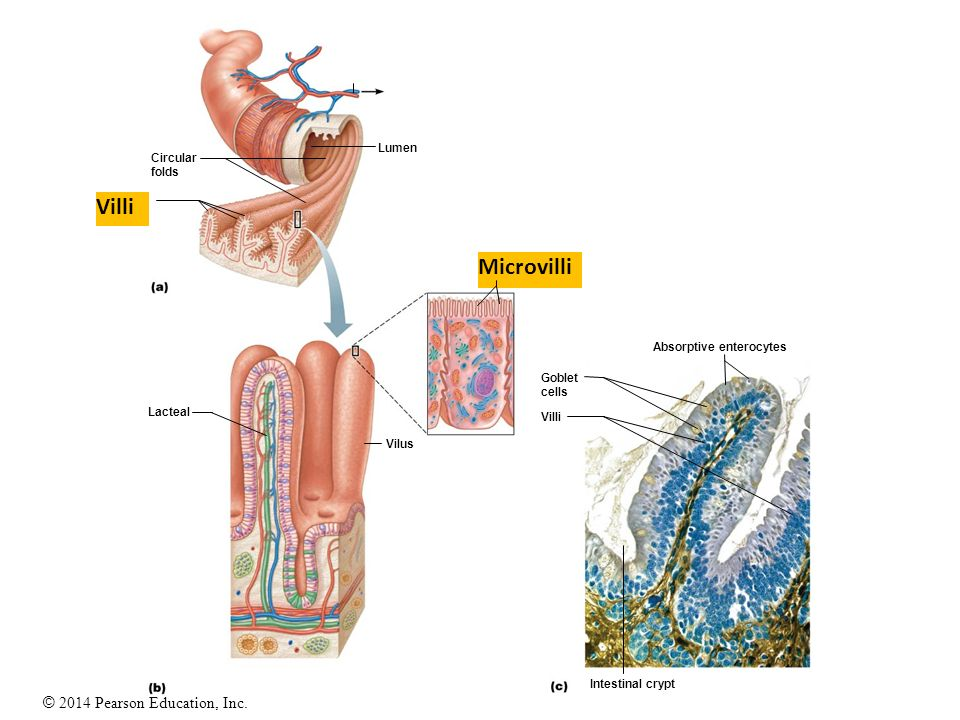 23 The Digestive System Ppt Video Online Download