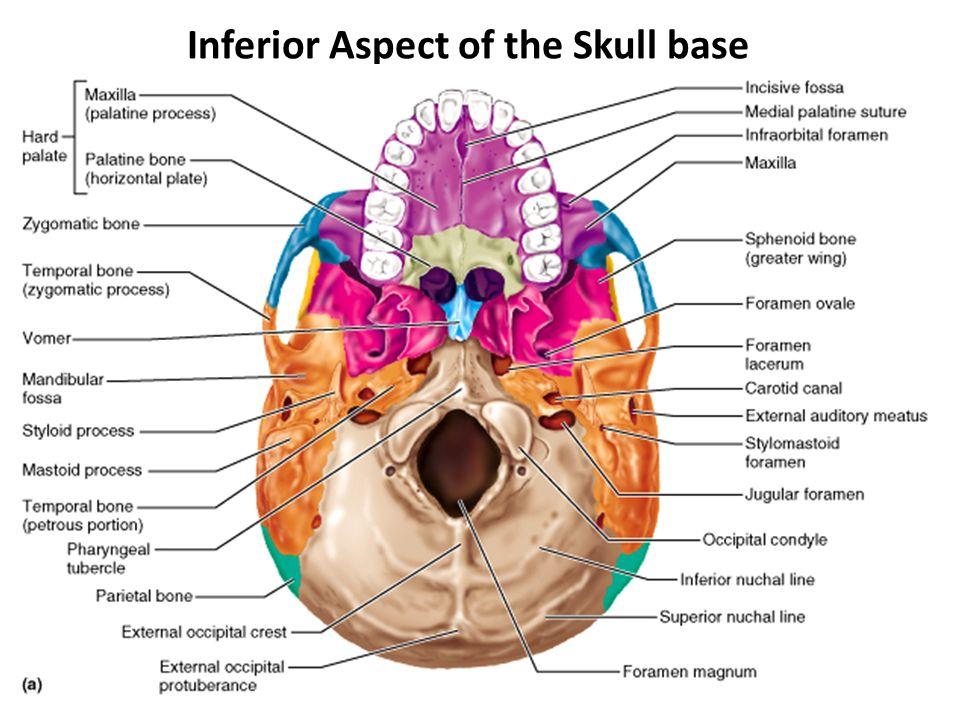 Inferior Skull Anatomy Image Collections Human Body Anatomy