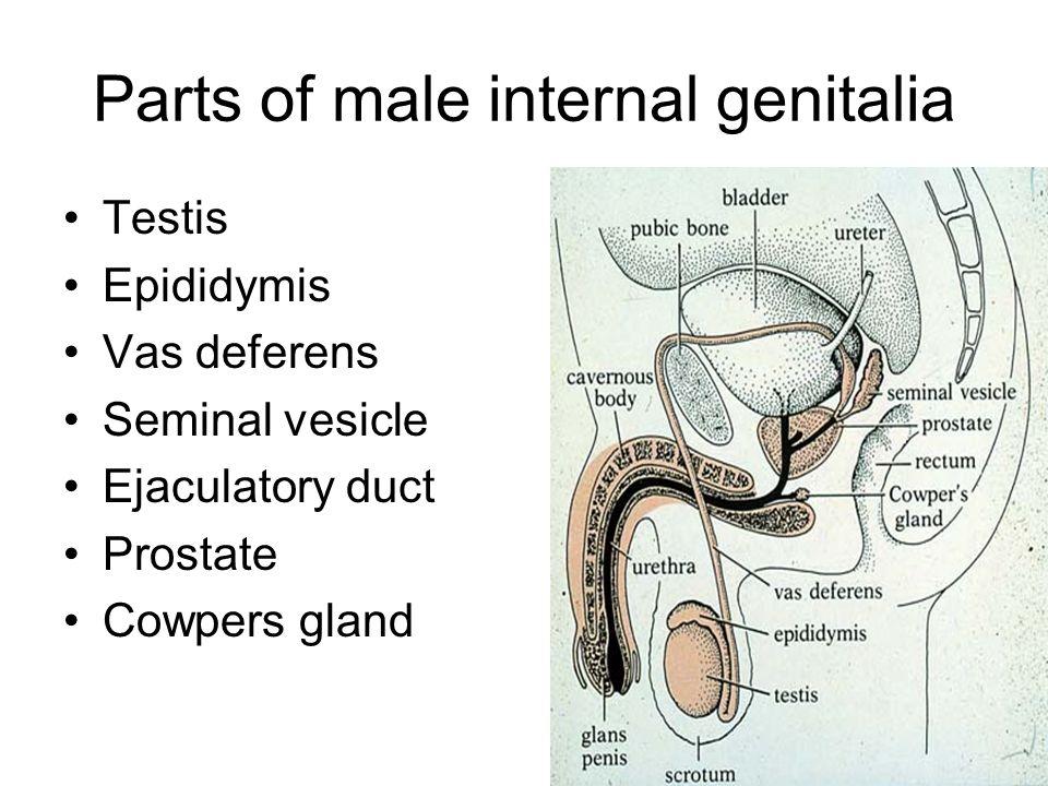 Gross Anatomy Of Male Internal Genitalia Ppt Video Online Download