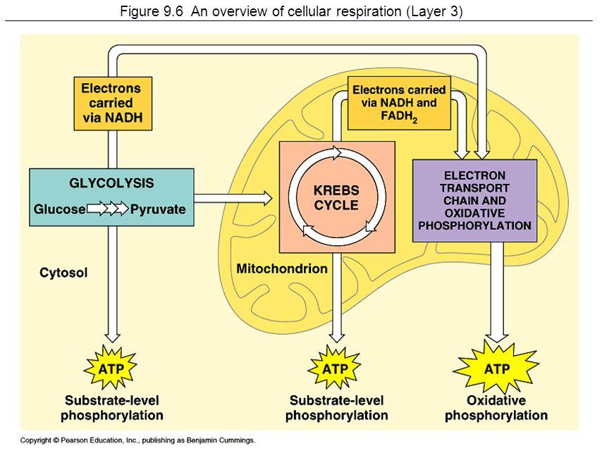 Cellular respiration overview diagram figure 4 11 circuit chapter 9 cellular respiration harvesting chemical energy ppt rh slideplayer com cellular respiration basic diagram alcoholic ccuart Choice Image