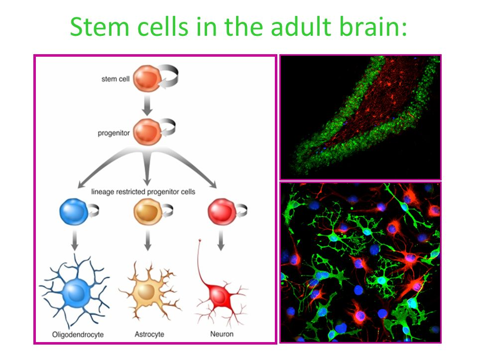 Brain stem cells in adults think