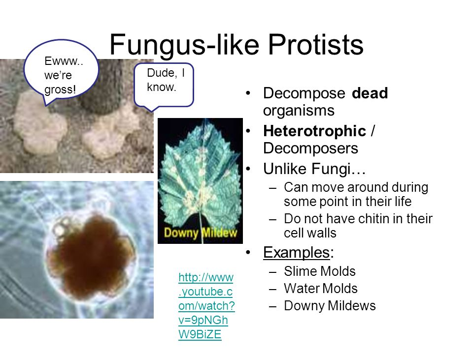fungus like protists decompose dead organisms