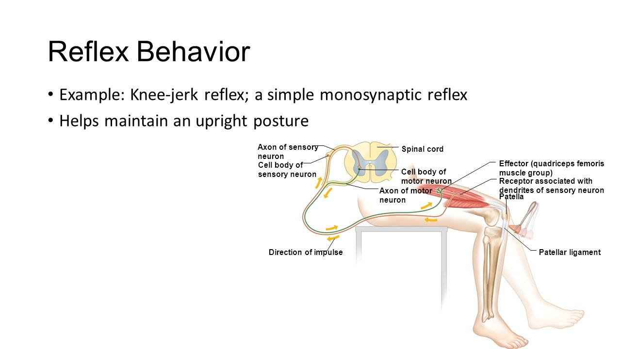 Nervous system chapters 9 10 ppt video online download reflex behavior example knee jerk reflex a simple monosynaptic reflex helps maintain ccuart Gallery