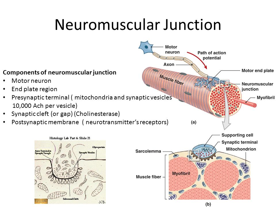 Neuromuscular Junction Ppt Video Online Download