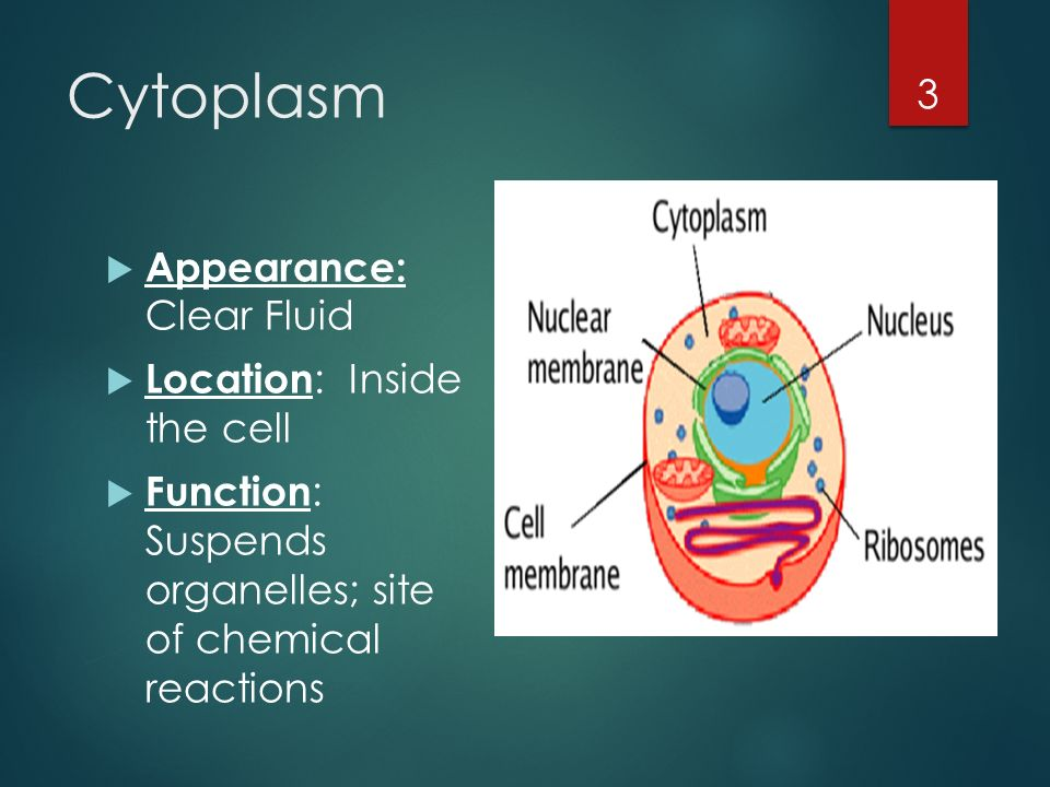 Ribosomes In A Plant Cell Organelles Of the Cell...