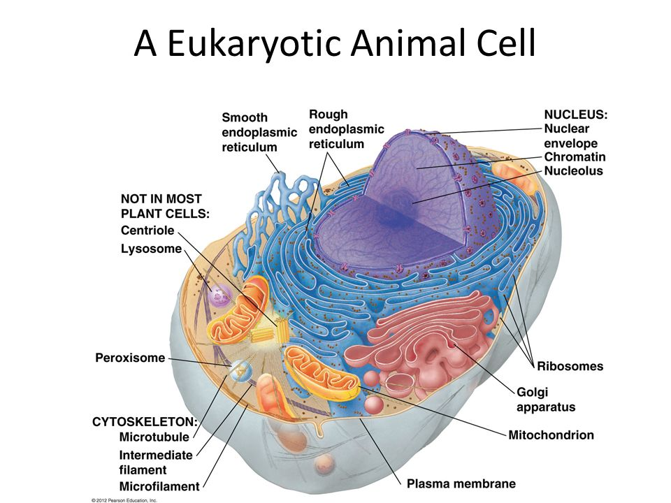 cells and organelles a eukaryotic cell has membranebound