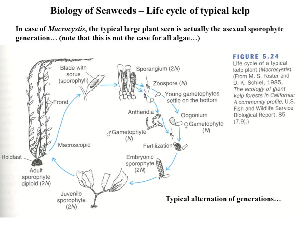 Biology Of Seaweeds Kelp Beds And Forests Ppt Video