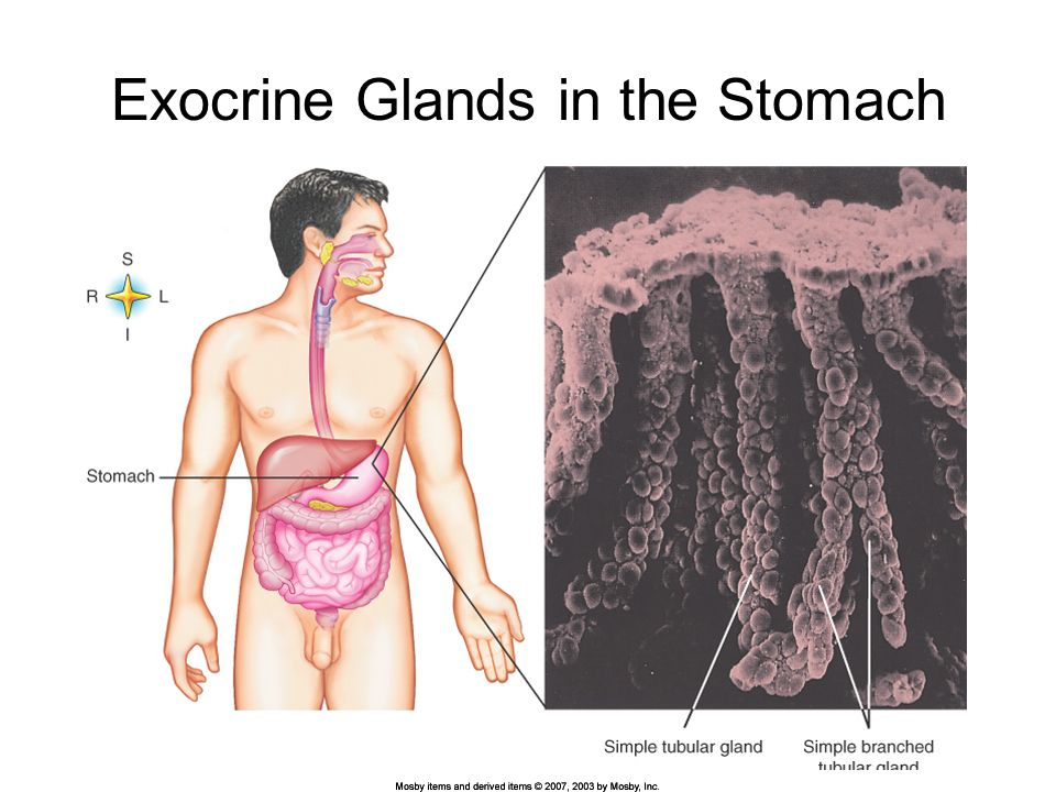 Exocrine Glands In Human Body Awesome Projects Photo Gallery For ...