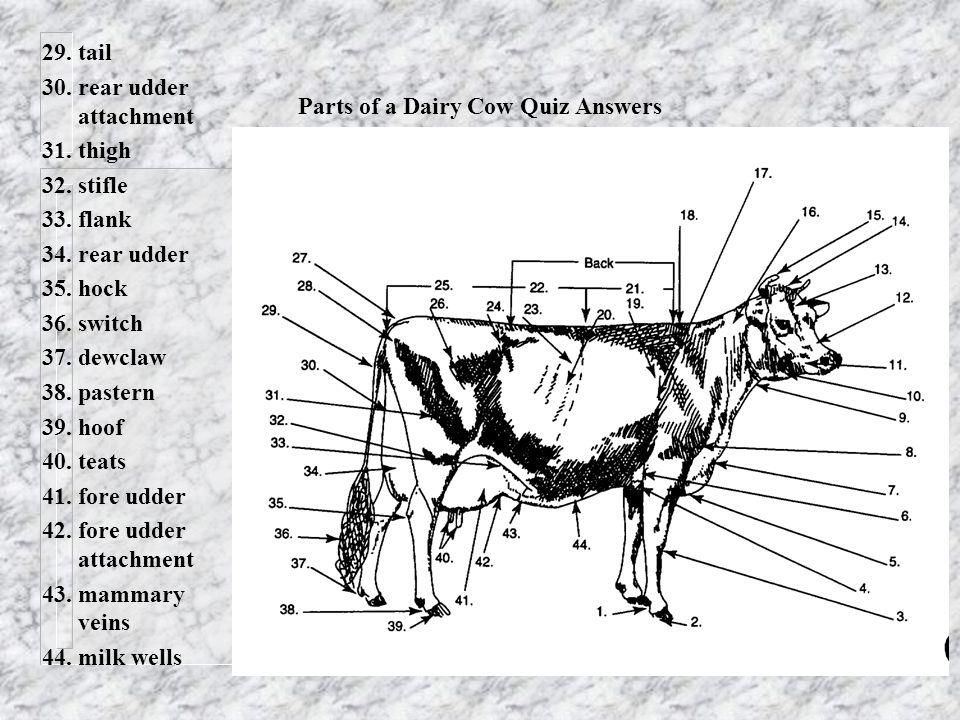 Parts+of+a+Dairy+Cow+Quiz+Answers dairy breeds and selection ppt video online download