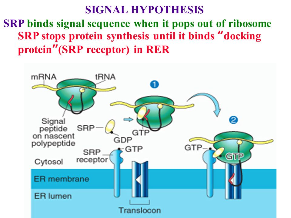 SIGNAL+HYPOTHESIS+SRP+binds+signal+sequence+when+it+pops+out+of+ribosome. protein degradation rate varies 100x ppt video online download