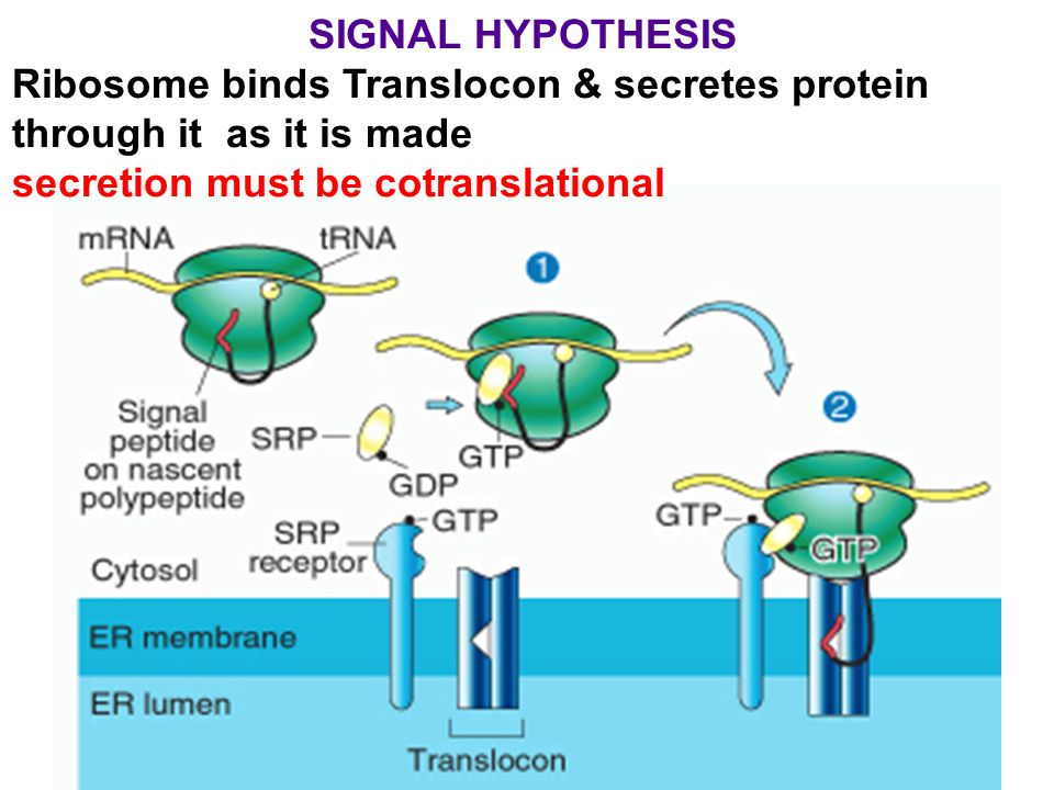 SIGNAL+HYPOTHESIS+Ribosome+binds+Translocon+%26+secretes+protein+through+it+as+it+is+made. protein degradation rate varies 100x ppt video online download