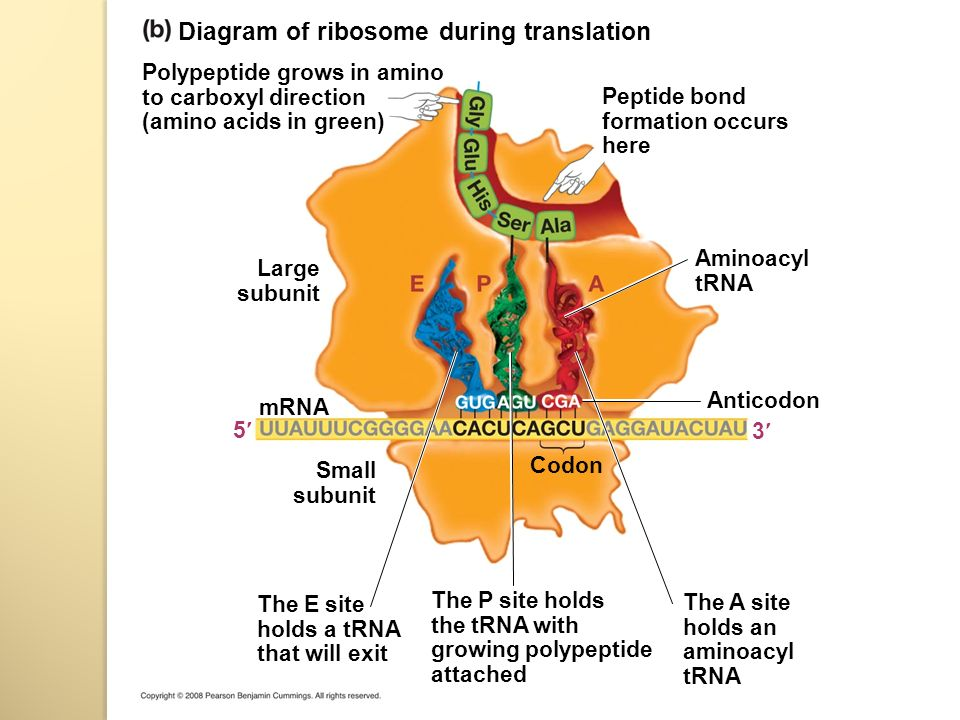 Diagram+of+ribosome+during+translation transcription and translation & genetic code ppt download