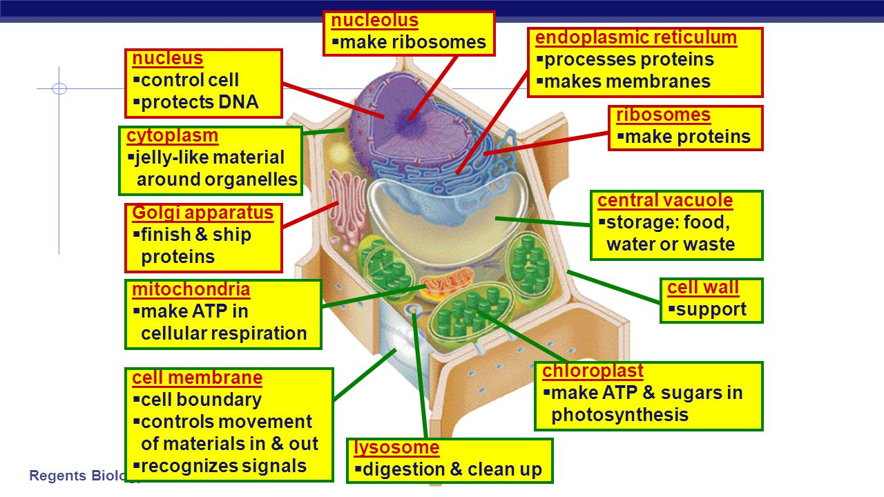 Organelles Organelles do the work of cells - ppt video online download
