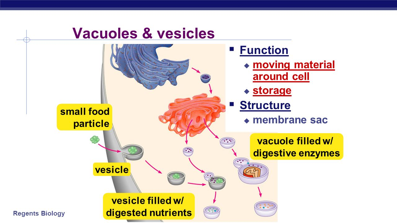 Vesicle animal cell function - photo#45